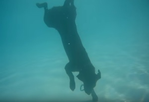 Dogs Love Diving Too! See for yourself!